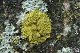 Vals dooiermos (Candelaria concolor)