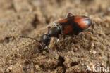 Bloemensnoerhalskever (Anthicus antherinus)