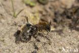 Witbaardzandbij (Andrena barbilabris)