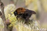 Boomhommel (Bombus hypnorum)