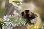 Veenhommel (Bombus jonellus)