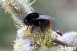 Steenhommel (Bombus lapidarius)