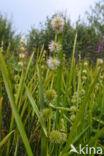 Kleine egelskop (Sparganium emersum)