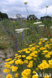 Akkerdistel (Cirsium arvense)