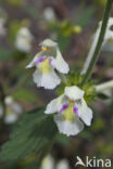 Bleekgele hennepnetel (Galeopsis segetum)