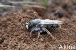 Grijze zandbij (Andrena vaga)