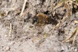 Grote zijdebij (Colletes cunicularius)