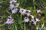 Grote sneeuwroem (Chionodoxa luciliae
