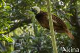 Grote Paradijsvogel (Paradisaea apoda)