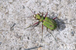 Groene zandloopkever (Cicindela campestris)