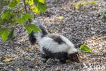 Gestreepte skunk