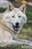 Mackenzie wolf (Canis lupus occidentalis)