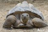 Reuzenschildpad (Testudo gigantea)