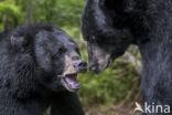 Zwarte beer (Ursus americanus)