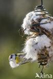 Pimpelmees (Parus caeruleus)