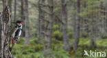 Grote Bonte Specht (Dendrocopos major)