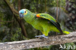 Blauwvoorhoofdamazone (Amazona aestiva)