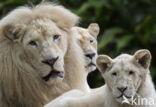 Leeuw (Panthera leo krugeri)