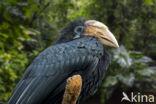 Papoeajaarvogel (Aceros plicatus)