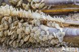Gevlochten fuikhoren (Nassarius reticulatus)