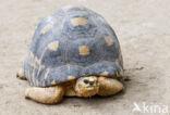Stralenschildpad (Testudo radiata)