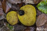 Aardappelbovist (Scleroderma aurantium)