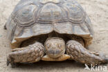 Sporenschildpad (Geochelone sulcata)