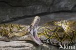 Netpython (Typhlops reticulatus)
