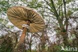 Grote parasolzwam (Macrolepiota procera)