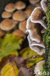 Gewoon elfenbankje (Trametes versicolor)