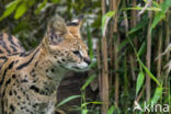 Serval kat (Leptailurus serval)