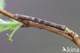 Variabele spikkelspanner (Alcis repandata)