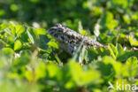 Groene pad (Bufo viridis)