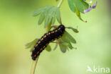 Zwarte apollovlinder (Parnassius mnemosyne)