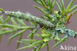 Bruine sikkeluil (Laspeyria flexula)