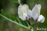 Grote wikke (Vicia grandiflora)