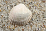 Scheve hartschelp (Parvicardium exiguum)