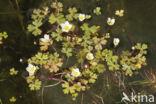 Witte waterranonkel (Ranunculus ololeucos)
