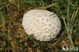 Ruitjesbovist (Calvatia utriformis)