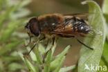 Onvoorspelbare Bijvlieg (Eristalis similis)