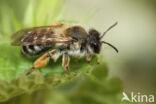 Weidebij (Andrena gravida)