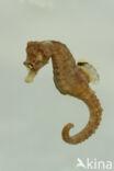 Europees Zeepaardje (Hippocampus hippocampus)