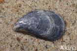 Gewone Mossel (Mytilus edulis)