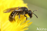 Bosgroefbij (Lasioglossum fratellum)