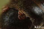 Grijze rimpelrug (Andrena tibialis)