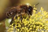 Andrena trimmerana