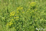 Heksenmelk (Euphorbia esula)