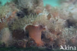 Sierlijke slibanemoon (Sagartia elegans)