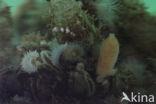 Gewone Zakspons (Sycon ciliatum)