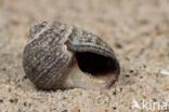 Gewone Alikruik (Littorina littorea)